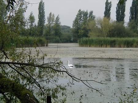 Ein schwan in einem halb verlandeten see voll der wuchernden wasserpest
