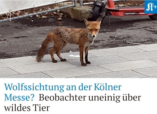 Bildschirmfoto vom kölner stadt-anzeiger -- foto eines fuxes -- darunter der text: Wolfssichtung an der Kölner Messe? Beobachter uneinig über wildes Tier